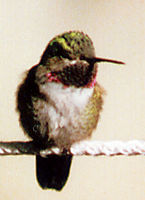 Male Broad-tailed