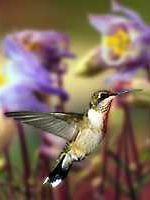 Female Ruby-throat and Columbines